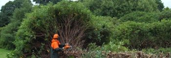 The Rhododendrons are finally being cut back!